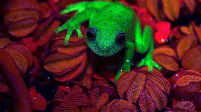 Encontraron en la Argentina la primera rana fluorescente del mundo