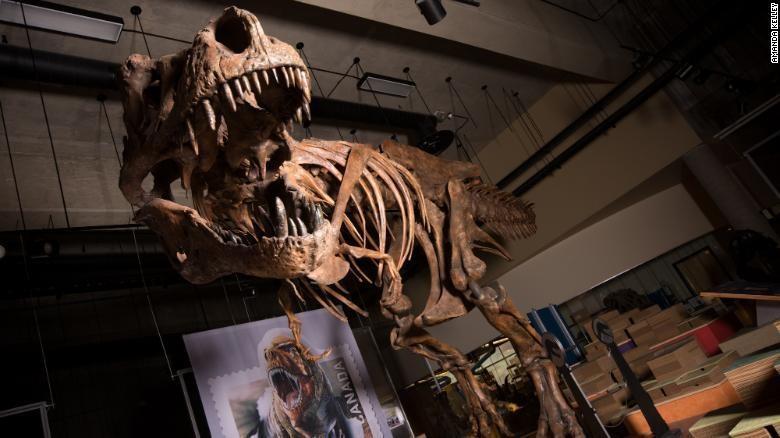Confirmaron en Canadá el hallazgo del Tiranosaurio Rex más grande del mundo