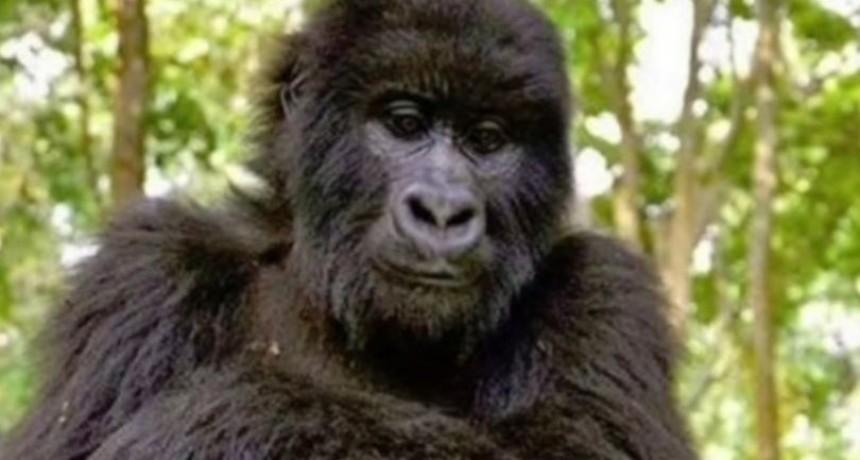 La selfie de los gorilas que recorre el mundo