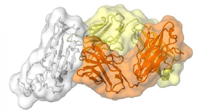 Un anticuerpo hallado en un sobreviviente de la epidemia del SARS reveló una vulnerabilidad en el nuevo coronavirus