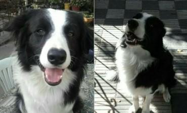 Buscan a Teo, el perro que se preparaba para ser rescatista junto a los bomberos