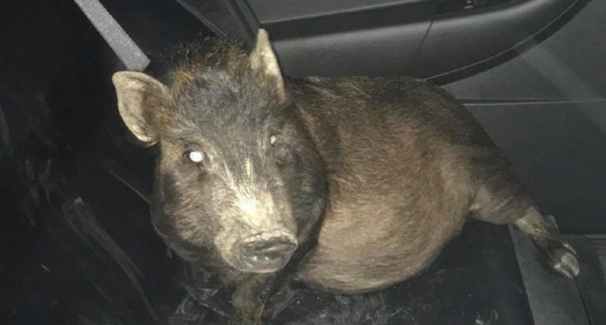 Un hombre pidió auxilio porque un cerdo lo perseguía