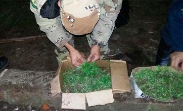 Incautaron más de 3000 plantines de cannabis en Entre Ríos