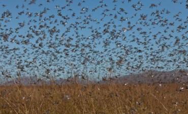 Las langostas atacan el noroeste de Santa Fe