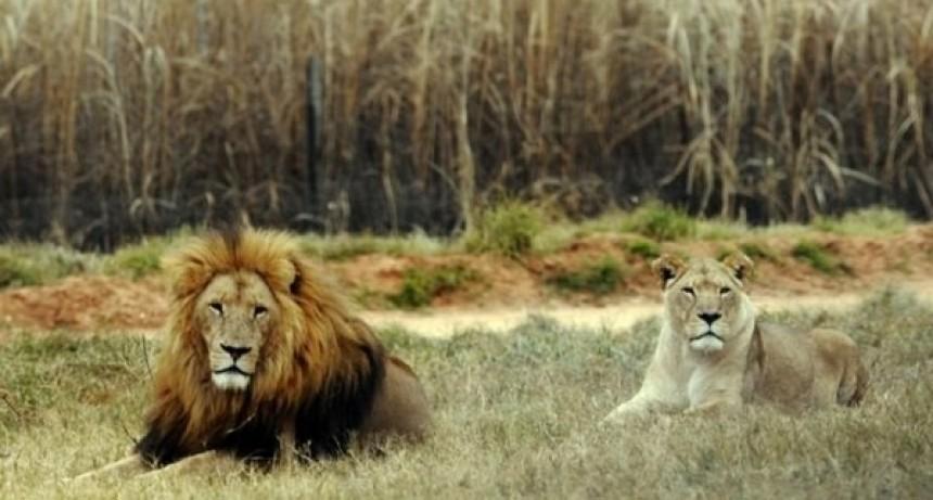 Leones devoraron a dos cazadores furtivos en Sudáfrica