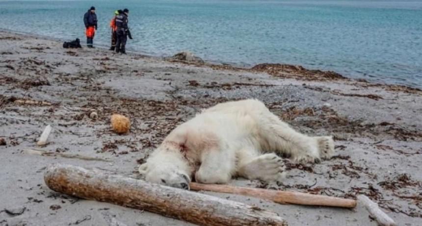 Mataron a un oso polar que atacó a un guía turístico en Noruega
