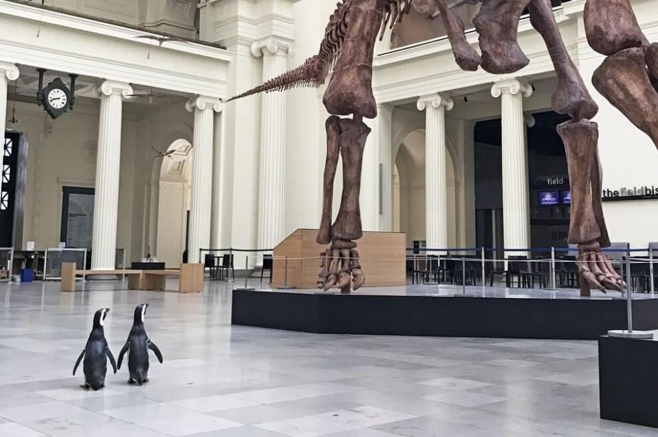 La pareja de pingüinos que visitó un museo cerrado por la pandemia