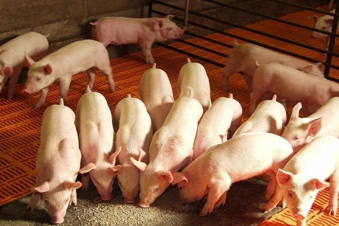 Rechazo a importación de cerdo por parte de la Federación Agraria