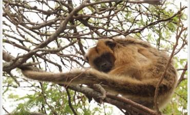 Rescataron a un mono carayá de una vivienda