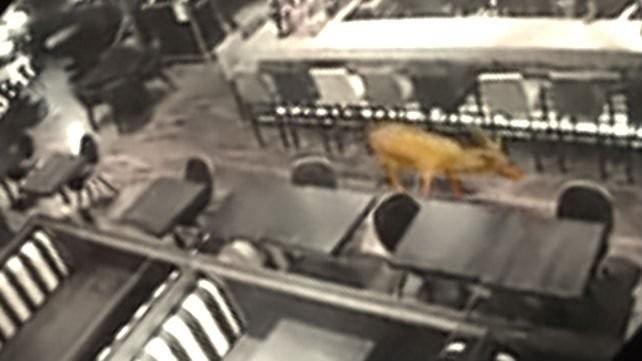 Un ciervo se metió en un bar de Rosario luego de romper la vidriera