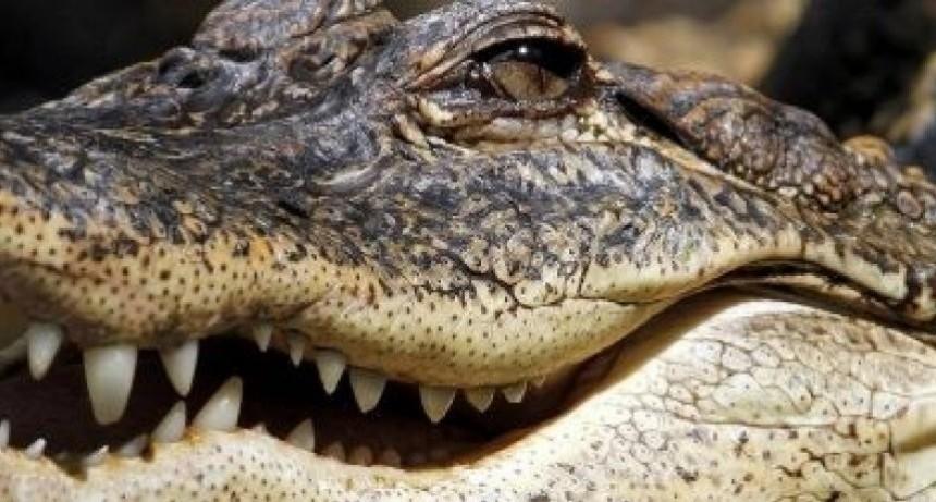 Fue a desalojar a su inquilino y se encontró con un cocodrilo